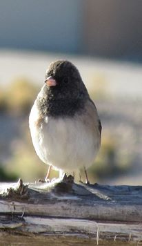 Downjacket junco.