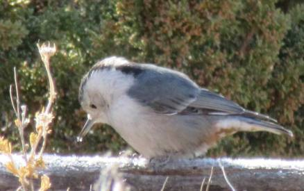 Nuthatch and ice crystals.
